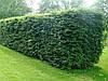 Бук лесной в зеленом заборе