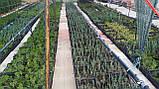 Туя (Смарагд)Smaragd.Хвойные растения.Можжевельник.Туя.Ели.Пихта.Хвоя Р9 (П9).Коника.Скайрокет.Глобоза., фото 4
