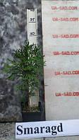 Туя (Смарагд)Smaragd.Хвойные растения.Можжевельник.Туя.Ели.Пихта.Хвоя Р9 (П9).Коника.Скайрокет.Глобоза.