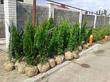 Туя (Смарагд)Smaragd.Хвойные растения.Можжевельник.Туя.Ели.Пихта.Хвоя Р9 (П9).Коника.Скайрокет.Глобоза., фото 2