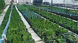 Туя (Смарагд)Smaragd.Хвойные растения.Можжевельник.Туя.Ели.Пихта.Хвоя Р9 (П9).Коника.Скайрокет.Глобоза., фото 3