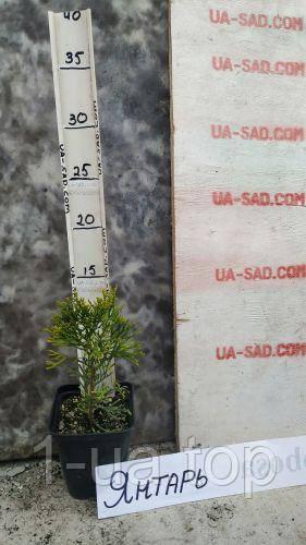 Thuja occidentalis Jantar (Янтарь)Туя західна Янтар.Туя Западная Янтарь.Хвойные растения.