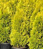 Thuja occidentalis Jantar (Янтарь)Туя західна Янтар.Туя Западная Янтарь.Хвойные растения., фото 2