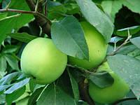 Саджанці яблуні СМЕРАЛЬДА зимового терміну (дворічні)