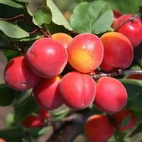 Саджанці абрикоса ЛЕ-32/76 середнього терміну дозрівання (дворічний)