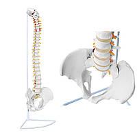 Анатомическая модель человеческого позвоночника мужского таза 76 см, фото 1