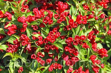 Вейгела Red Robin