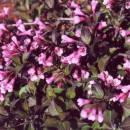 Вейгела квітуча «Атропурпуреа нана»