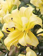 Лилия ориентальная махровая Exotic Sun DBL 12/14 ЭКСКЛЮЗИВ 1шт, фото 1