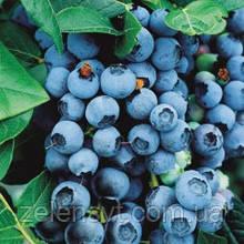 Лохина високоросла Блюкроп Голубика высокорослая Блюкроп Vaccinium corymbosum Bluecrop