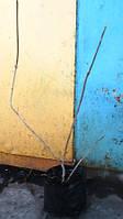 Калина гордовина. Саженцы в контейнерах Д12.