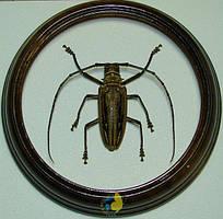 Сувенир - Жук в рамке Batocera wallacei var. proserpina f. Оригинальный и неповторимый подарок!