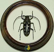 Сувенир - Жук в рамке Batocera parryi f. Оригинальный и неповторимый подарок!