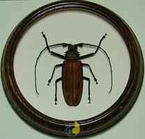 Сувенир - Жук в рамке Callipogon armillatus m. Оригинальный и неповторимый подарок!