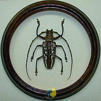 Сувенир - Жук в рамке Batocera wallacei wallacei f. Оригинальный и неповторимый подарок!