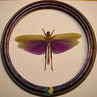 Сувенир - Кузнечик в рамке Titanacris albipes. Оригинальный и неповторимый подарок!, фото 1