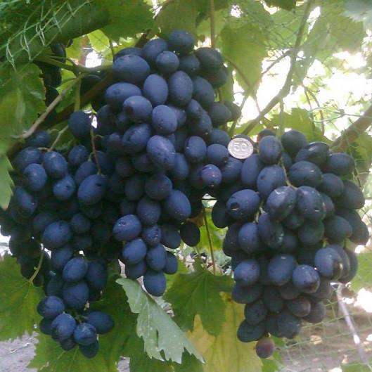 Вегетирующие саженцы столового винограда Осенний черный - средне-позний, крупноплодный, транспортабельный