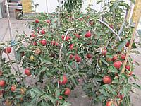 Яблоня Dacosta