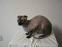 Вислоухие голые кошки