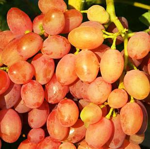 Вегетирующие саженцы винограда Кишмиш Лучистый - ранне-среднего срока, транспортабельный, морозостойкий
