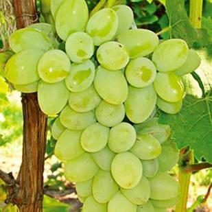 Вегетирующие саженцы винограда Кишмиш Ниагара - очень раннего срока, урожайный, морозостойкий