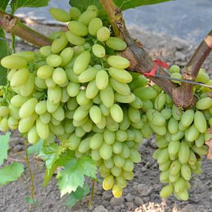 Вегетирующие саженцы винограда Кишмиш Столетие - среднего срока, крупноплодный, морозостойкий