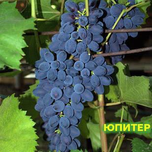 Вегетирующие саженцы винограда Кишмиш Юпитер США - раннего срока, крупноплодный, урожайный