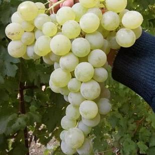 Вегетирующие саженцы винограда Сурученский Белый - средне-поздний, крупноплодный, зимостойкий