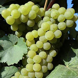 Вегетирующие саженцы винограда Цитронный Магарача - средне-ранний, крупноплодный, урожайный