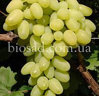 """Виноград """"Зарница"""" (Аркадия ранняя) (2 года)"""