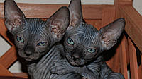 Уход за кошкой породы сфинкс