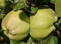Снежный Кальвиль - саженцы яблони (зимний) 2х летний