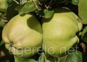 Снежный Кальвиль саженцы яблони (зимний)М106 2х летний