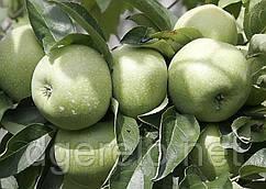 Саженцы яблони Ренет Симиренко(зимний)  106