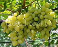 """Виноград """"Бажена"""" (2 года)"""