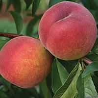 Саженцы персика - сорт Фрост(поздний)