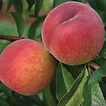 Саженцы персика - сорт Кондор (ранний)
