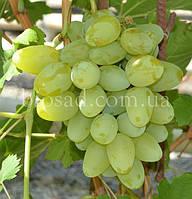 """Виноград """"Долгожданный"""" (2 года), фото 1"""