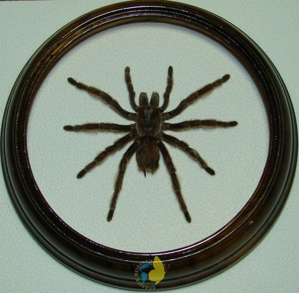 Сувенир - Паук в рамке Grammostola rosea. Оригинальный и неповторимый подарок!