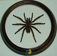 Сувенир - Паук в рамке Grammostola rosea. Оригинальный и неповторимый подарок!, фото 1