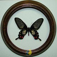 Сувенир - Бабочка в рамке Pachliopta oreon. Оригинальный и неповторимый подарок!