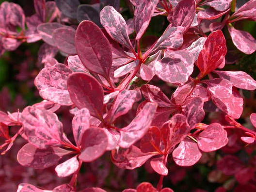 Барбарис Тунберга Rose Glow 2 річний, Барбарис Тунберга Роуз Сяйво, Berberis thunbergii Rose Glow, фото 2