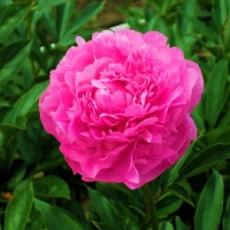 Пион Pink Jazz