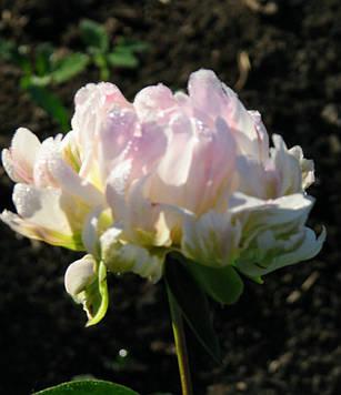 Півонія Pink Jitterbug