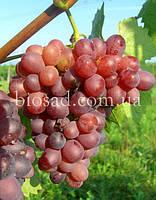 "Виноград ""Ливия"" (2 года), фото 1"