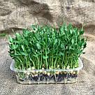 Набор для выращивания микрозелени в домашних условиях. Горох, Редиска, Кресс-салат, фото 3