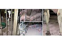 Средство MAX-DRY уп/10кг гигиеническое для дезинфекции возле свиноматок и поросят FARMA (Нидерланды)