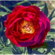 Пион Rose Dale