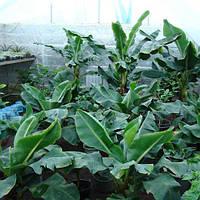 Саженцы банана карликового