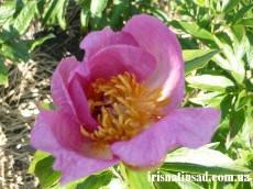 Півонія Roselette